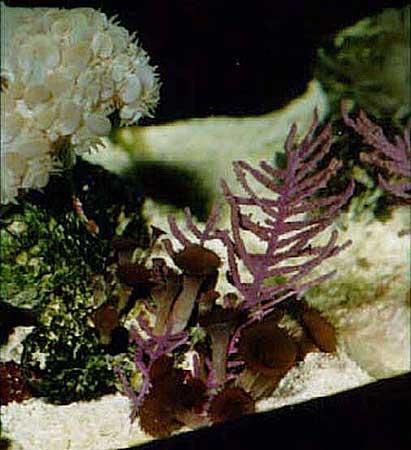 purple-gorgonian
