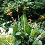6' Canna Plant